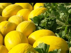 Melones Grupo Roca